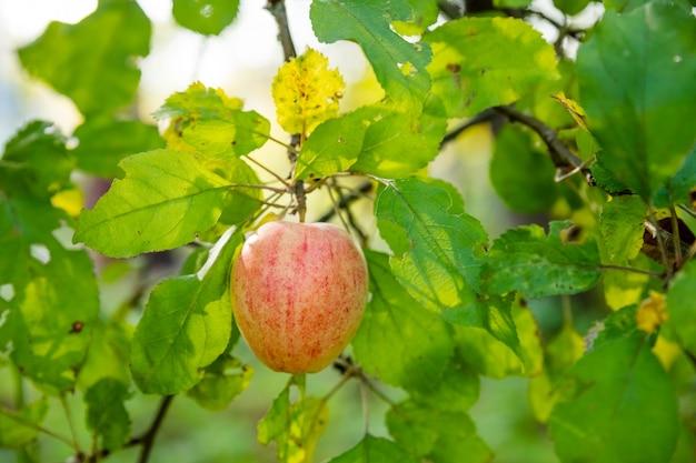Scatto colorato all'aperto contenente un grappolo di mele verdi rosse su una mela dei frutteti del tempo della raccolta dei rami ...