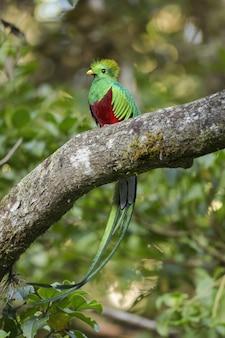 Quetzal splendente colorato seduto su uno scrub nella foresta pluviale al tramonto