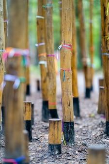 Nastri colorati intorno agli alberi di bambù, sfondo astratto con il fuoco selettivo