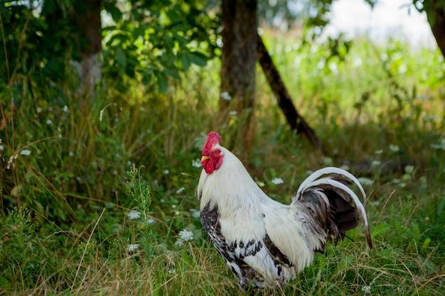 Gallo colorato in fattoria, bellissimi galli che camminano per strada, concetto di eco del villaggio.
