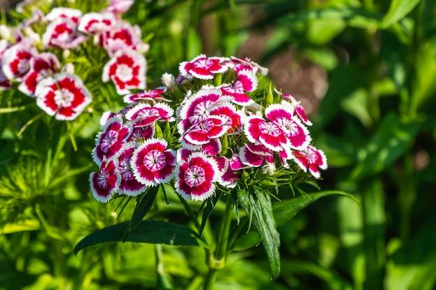 Coloratissimi fiori estivi che sbocciano in giardino su sfondo verde.