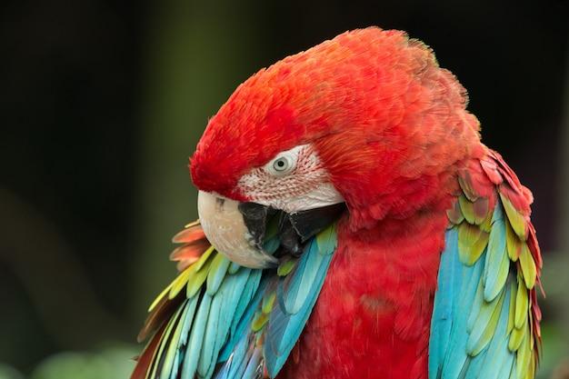 Pappagallo tropicale colorato