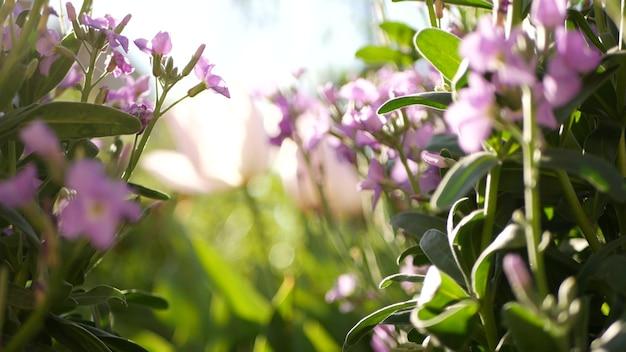 Fiore colorato di fiori di campo, prato mattutino di primavera, sfondo botanico naturale. fiore delicato fiore soft focus, giardinaggio in california, stati uniti d'america. flora di primavera romantica multicolore. varietà di erbe.