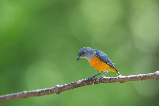 Uccello variopinto pancia di fiore arancione gonfiato