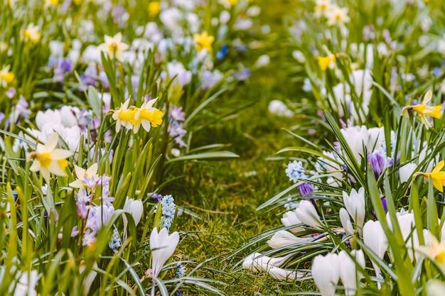 Letto di fiori variopinti della molla con i croco e il narciso