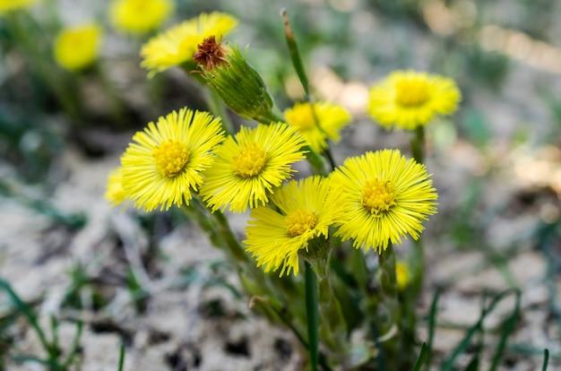 Fiore di coltsfoot