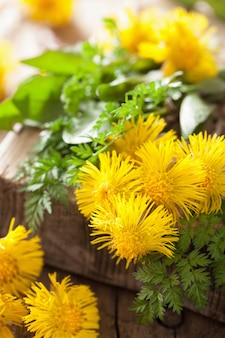 Coltsfoot fiorisce le erbe di primavera