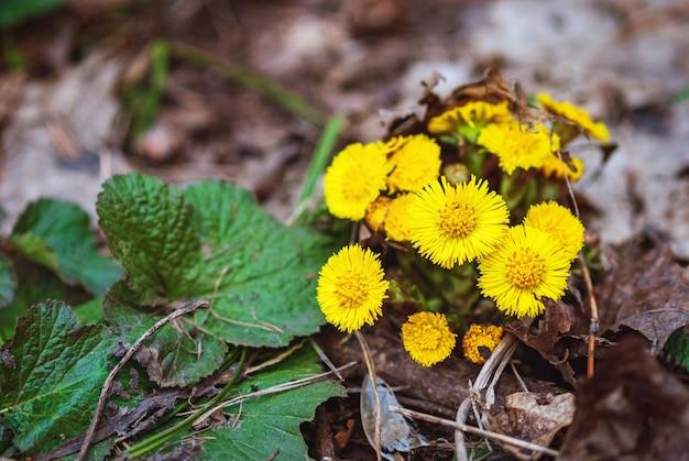 Coltsfoot o foalfoot giallo fiori che sbocciano nella foresta di primavera
