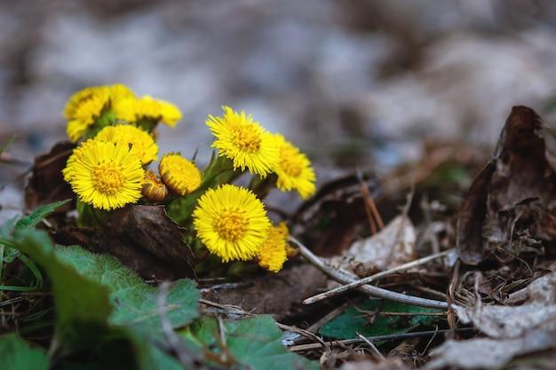 Coltsfoot - tussilago farfara - fiori gialli nella foresta di primavera
