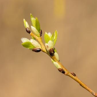 Amenti in arrivo sul salice micio in primavera, dettaglio