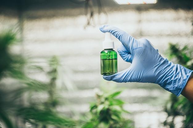Coltivazione di canapa commerciale in una serra. canapa industriale coltivata per produrre olio di cbd e altri prodotti derivati dalla canapa