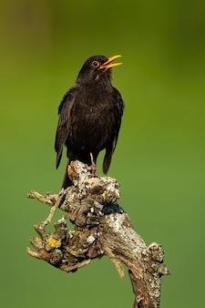 Merlo comune che canta sul ramo nella natura primaverile