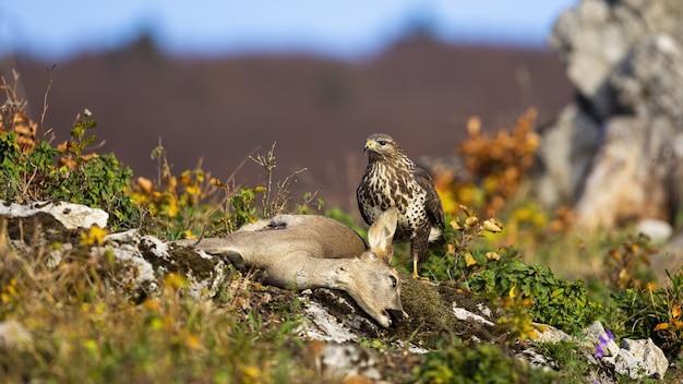 Poiana comune caccia doe in montagna in autunno.