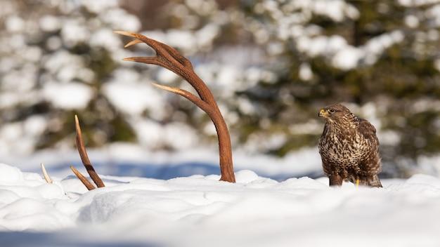 Poiana comune seduto accanto a corna in inverno
