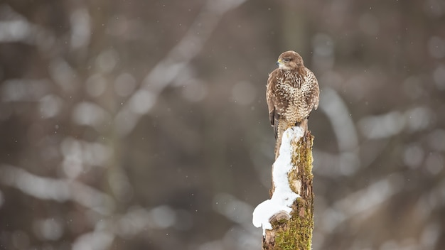 Poiana comune seduto sul ceppo nella natura invernale