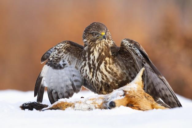 Poiana comune in piedi accanto alla preda sulla neve con ali spiegate