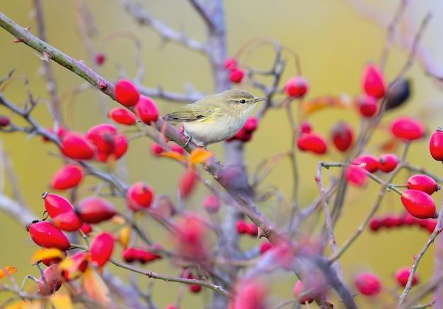 Un comune chiffchaff seduto su un ramo di un cespuglio di rose selvatiche circondato da bacche rosse