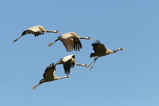 Volo comune della gru, uccelli, grus grus