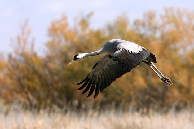 Gru comune che vola nelle prime ore del mattino, uccelli, grus grus