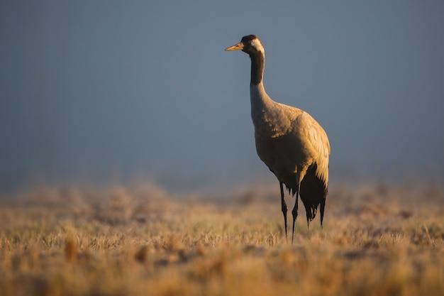 Gru comune in piedi sul campo nella nebbia mattutina in autunno