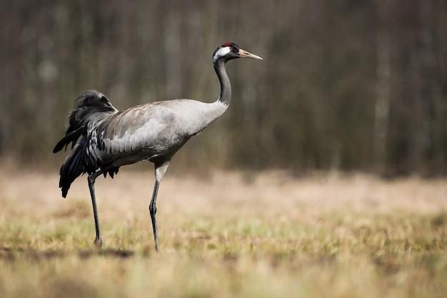Gru comune che cammina sul prato con erba secca nella natura primaverile Foto Premium