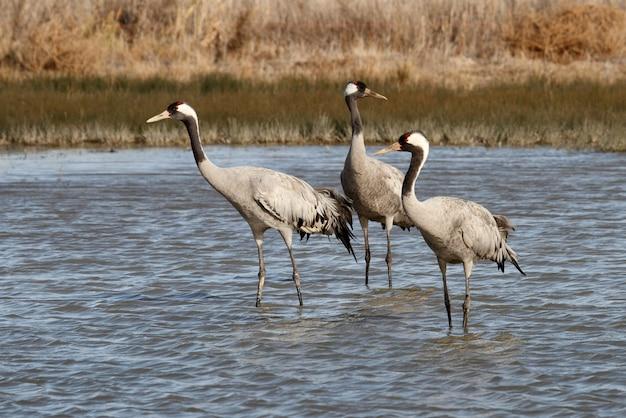 Gru comune in una zona umida della spagna centrale nelle prime ore del mattino, uccelli, grus grus