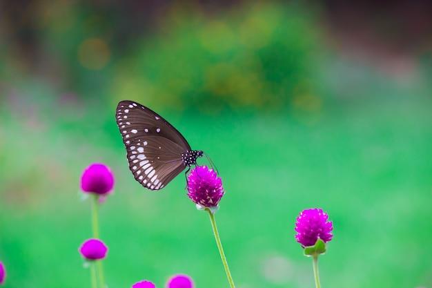 Farfalla comune del corvo
