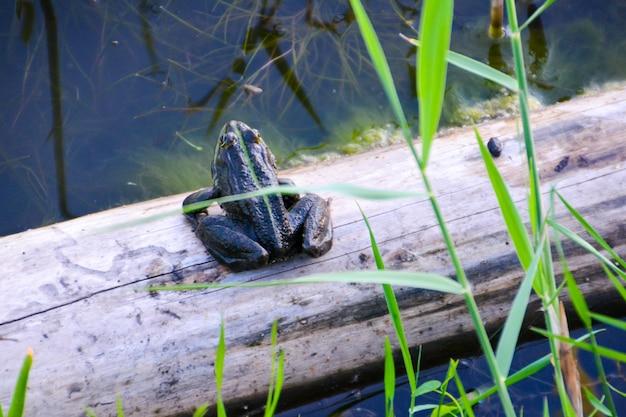 L'accoppiamento della rana comune (rana temporaria), noto anche come rana comune europea, rana marrone comune europea o rana erba europea, è un anfibio semi-acquatico