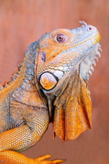 L'iguana verde comune iguana iguana