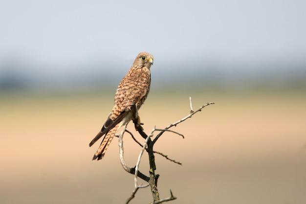 Una femmina di gheppio comune si siede su un piccolo albero