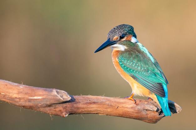 Common kingfisher (alcedo atthis) seduta.