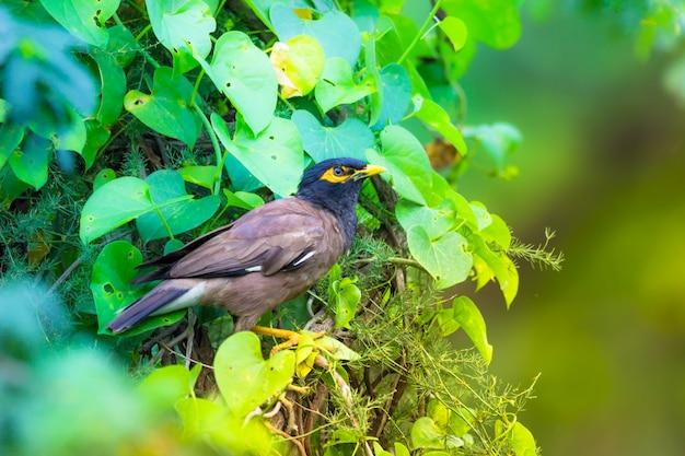 Comune myna acridotheres tristis o indiano myna scritto anche mynah dalla famiglia sturnidae