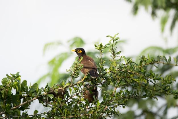 Myna comune o acridotheres tristis a volte scritto mynah appollaiato sull'albero dopo un lungo volo