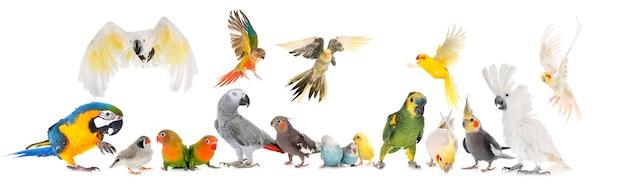 Common pet parrocchetto, pappagallo cenerino africano, piccioncini, zebra finch e cockatielisolated su bianco