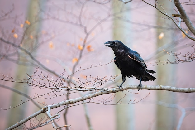 Corvo comune seduto sul ramo in natura autunnale.