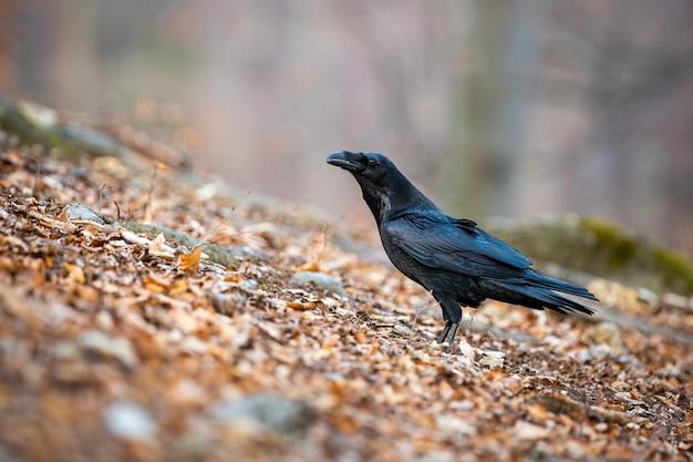 Corvo comune seduto sulle foglie in autunno
