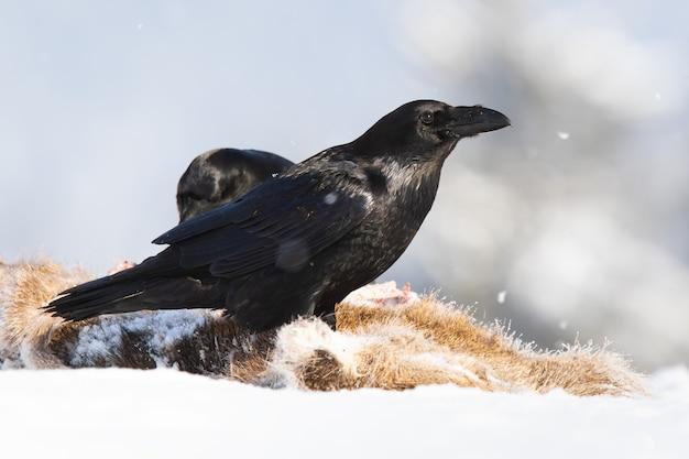 Corvo comune in piedi sulla preda sulla neve in inverno Foto Premium