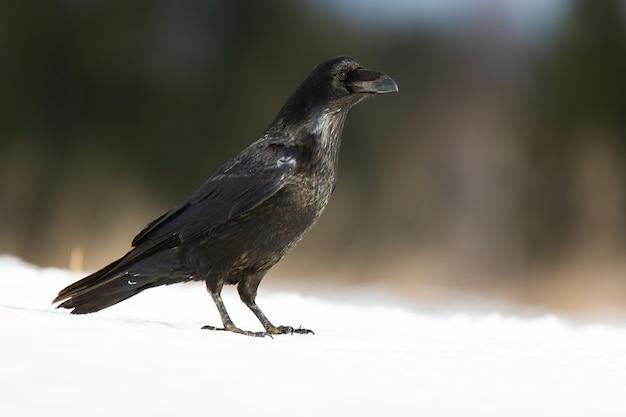 Corvo comune in piedi sulla neve nella natura invernale