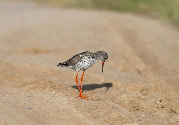 La pettegola comune o semplicemente la pettegola (tringa totanus) si trova sul terreno.