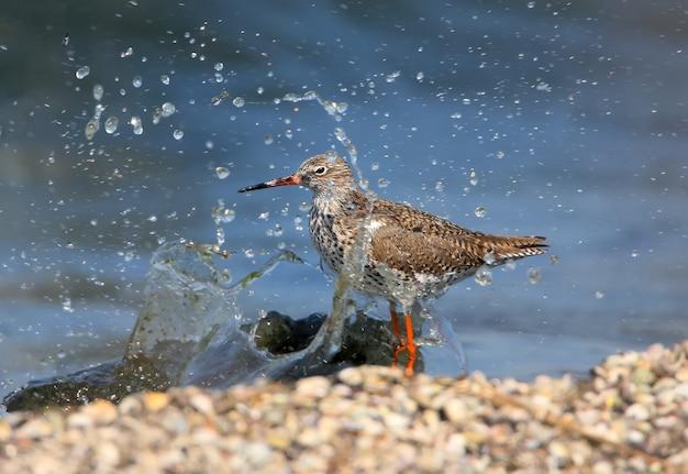 La comune pettegola (tringa totanus) si trova sulla riva in un'onda di rincorsa e spruzza. cornice esotica