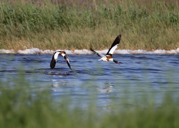 Volpoca (tadorna tadorna) durante la stagione degli amori. foto di questi uccelli in volo ea terra.