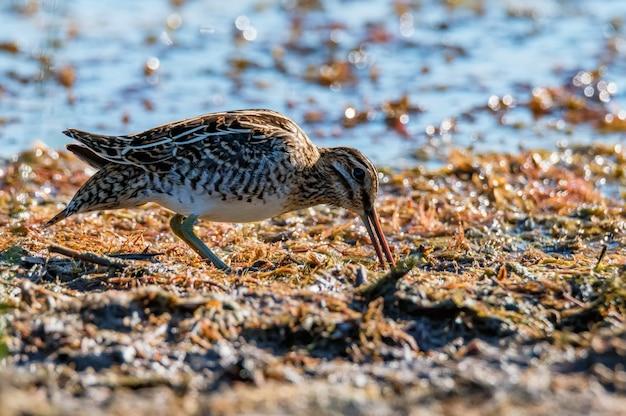 Beccaccino comune o gallinago gallinago in piedi nella fauna selvatica