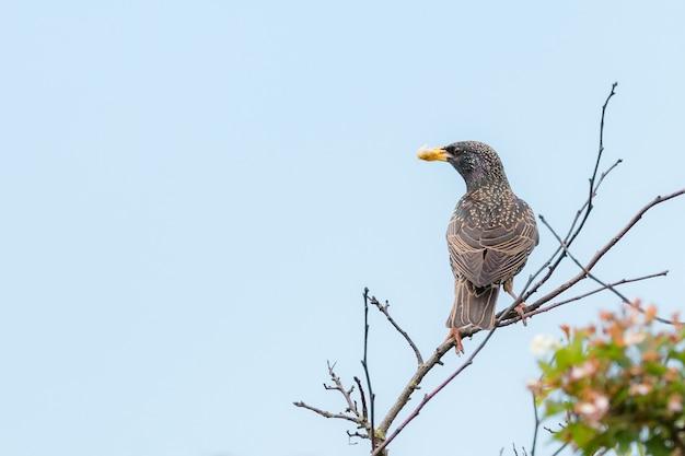 Starling comune, sturnus vulgaris tenendo il cibo per i giovani nel becco appollaiato su un ramo di albero