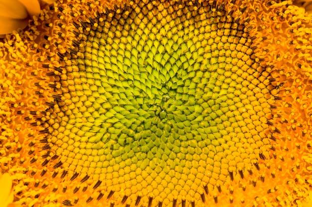 Girasole comune con petali gialli su un campo agricolo close-up dell'infiorescenza di girasoli in estate