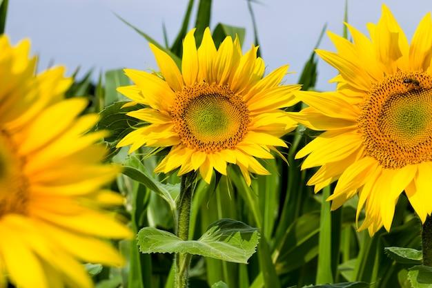 Girasole comune con petali gialli su un primo piano del campo agricolo dell'infiorescenza dei girasoli in estate