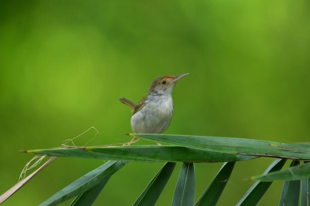Uccello sarto comune con ramo di un albero