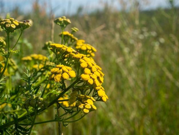 Fiore di campo giallo tanaceto comune. messa a fuoco selettiva, sfondo sfocato