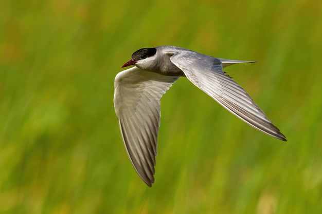 Sterna comune che vola veloce nel verde della natura in estate