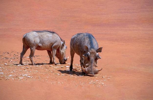 Il pumba comune dei facoceri si trova sulla terra rossa in una giornata di sole