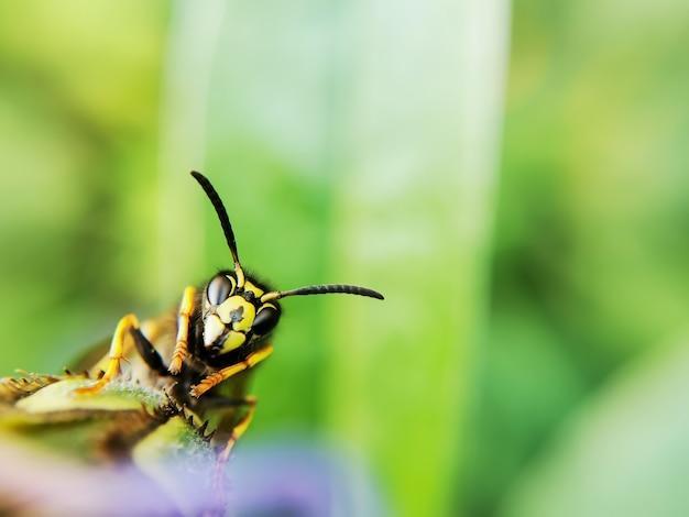 Testa di vespa comune, tarso e antenne.